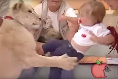 A TV section on a show in Mexico went horribly wild - when a lion went for a youthful infant amid a live telecast.