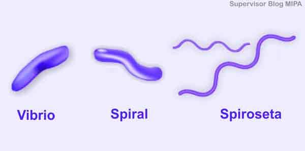 pengelompokkan jenis Klasifikasi Bakteri Berdasarkan bentuk sel spirilum atau spiral