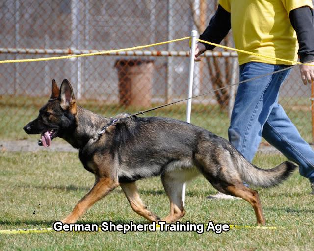 German Shepherd Training Age