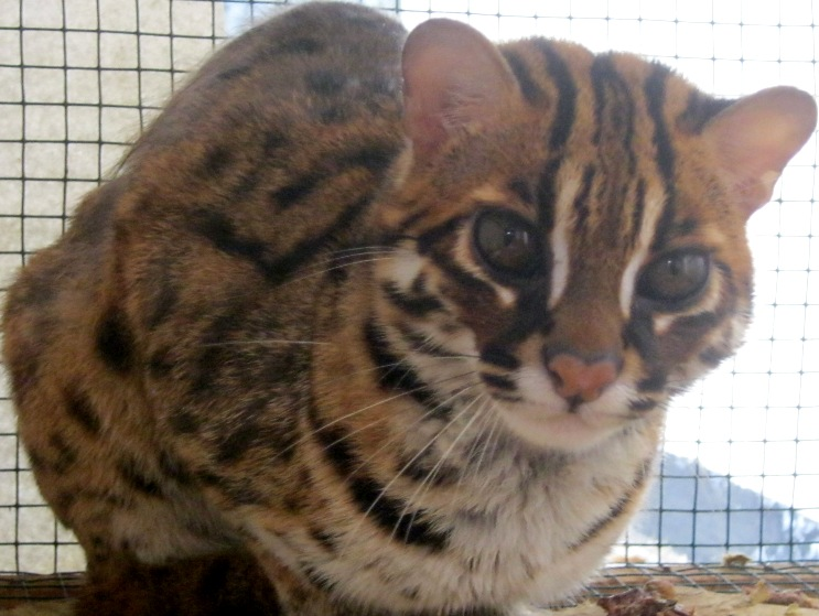 Hasil gambar untuk kucing hutan (felis bengalensis) sebanyak 2 ekor
