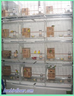 Berternak lovebird ketika ini merupakan sebuah hobi yang sudah dapat dijadikan bisnis Sukses Dalam Burung Lovebird Kelebihan dan Kekurangan Kandang Kotak