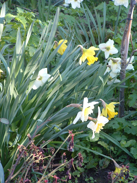 Photo of a clump of many daffodils