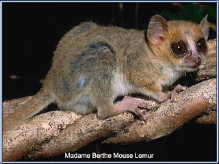 Lemur Madame Berthe Mouse