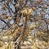 महुआ : जीवन का आधारवृक्ष