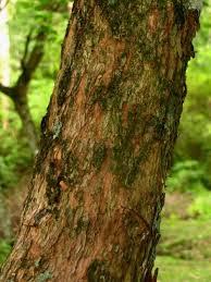 Allophylus edulis tronco