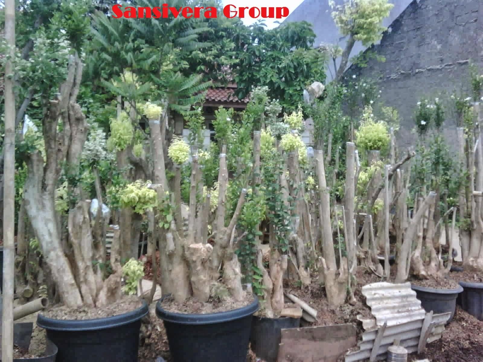 Tanaman-bonsai-anting-putri