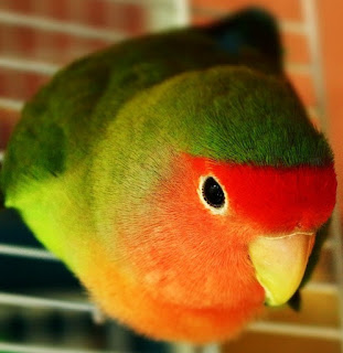 Cara Mengatasi Lovebird yang Membawa Kangkung ke dalam Glodok