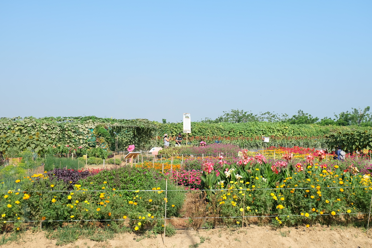 Landscape photo of the Sunflower Maze