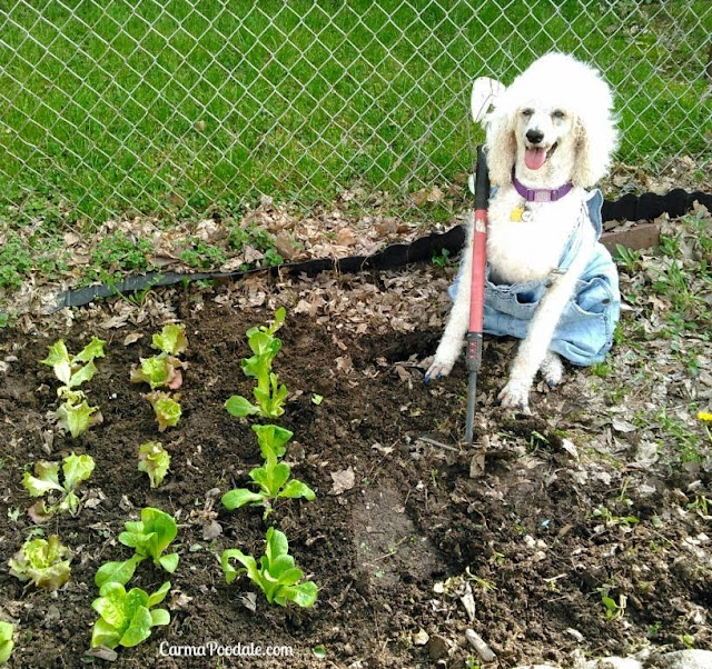 Carma Poodale the standard poodle wearing bibs and holding a hoe waiting to plant the lettuce