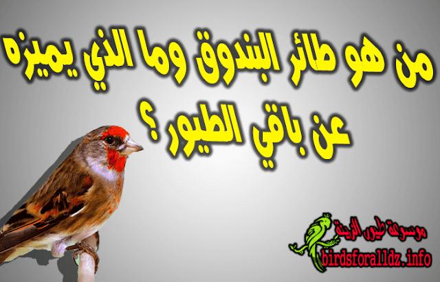 من هو طائر البندوق وما الذي يميزه عن الطيور