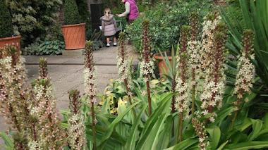 Plantas que florecen en verano: Eucomis (no es piña todo lo que reluce)