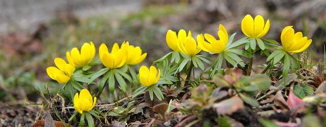 Winter Aconites Eranthis hyemalis