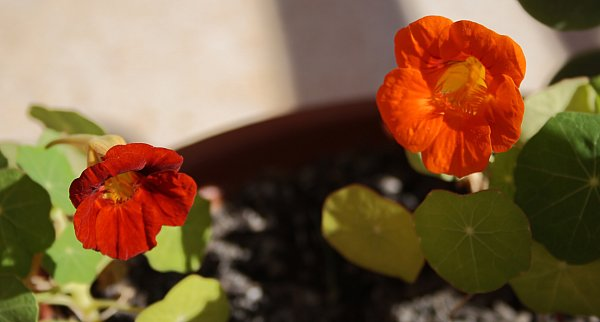 Deep orange and orange nasturtiums