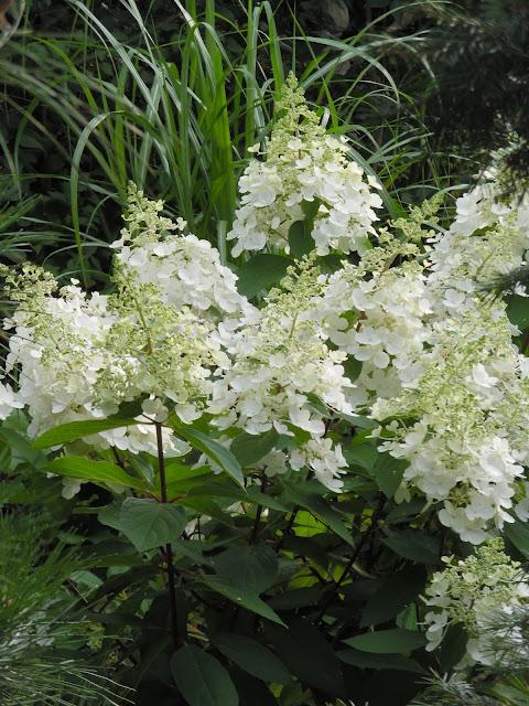 białe kwiaty hortensji