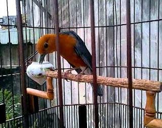 cara merawat burung,anis merah teler mp3,teler doyong,teler di tangan,teler klasik,