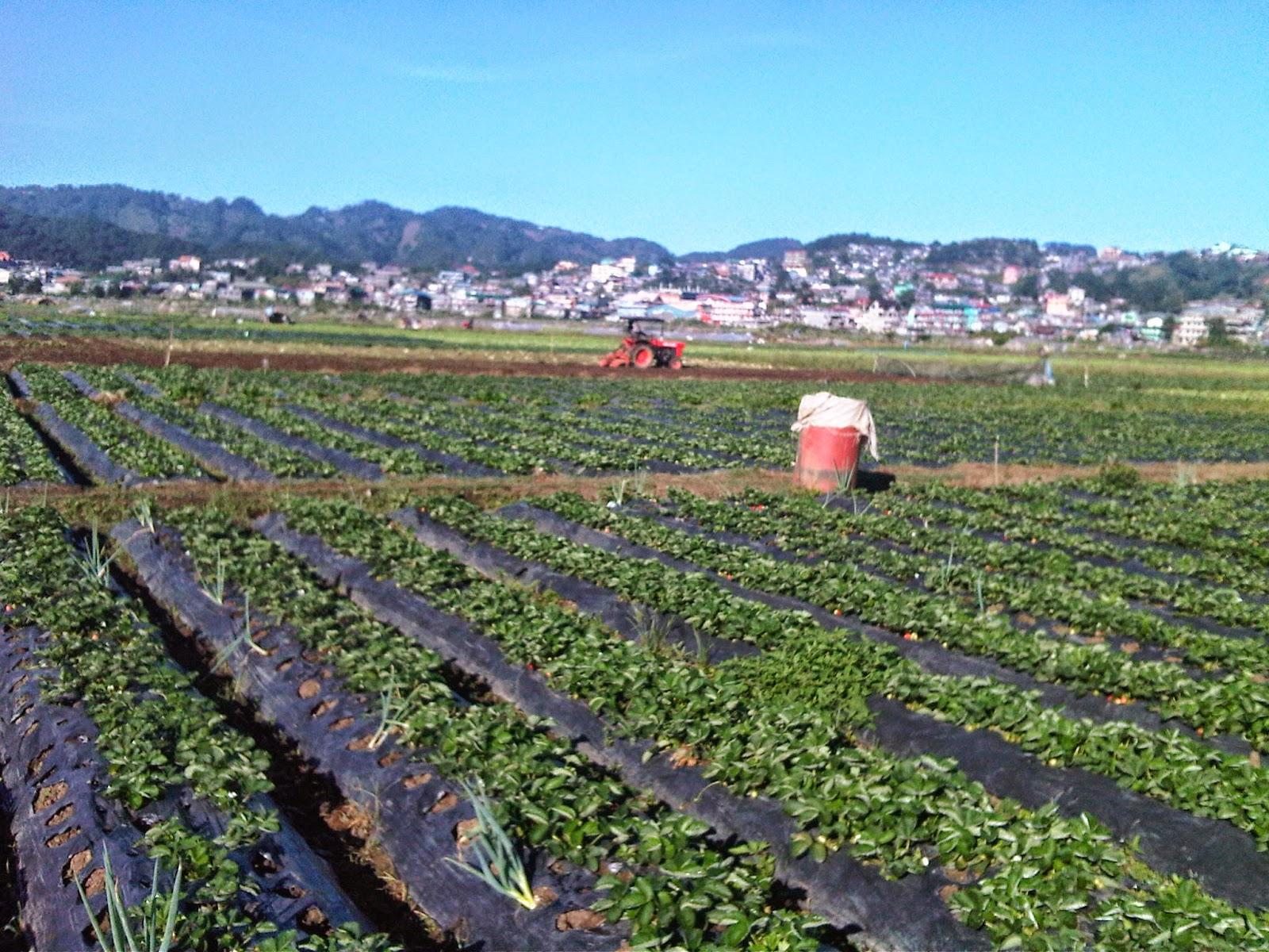 Where to go in Baguio? Strawberry Farm