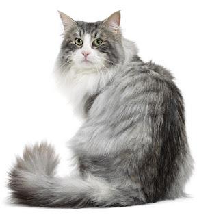gambar kucing Norwegian Forest