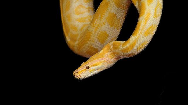 """""""Una muestra de cariño"""": Un amante de las serpientes muere estrangulado por una pitón"""