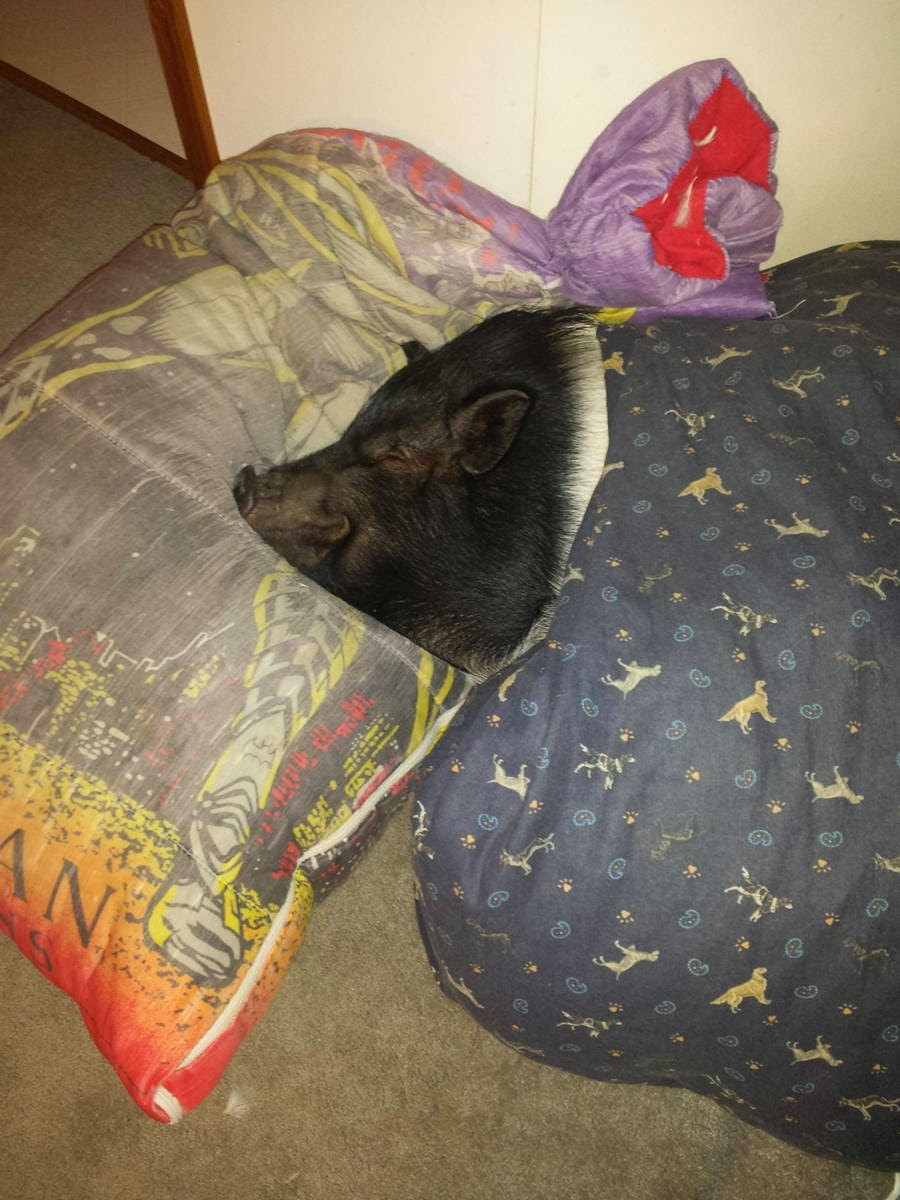 Funny animals of the week - 21 February 2014 (40 pics), pig sleeping wearing blanket