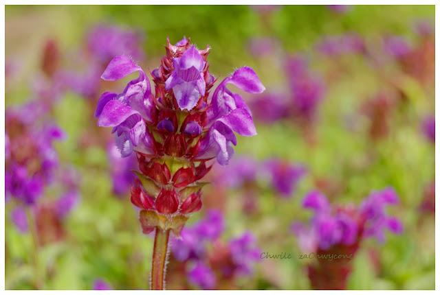 głowienka wielkokwiatowa, Prunella grandiflora