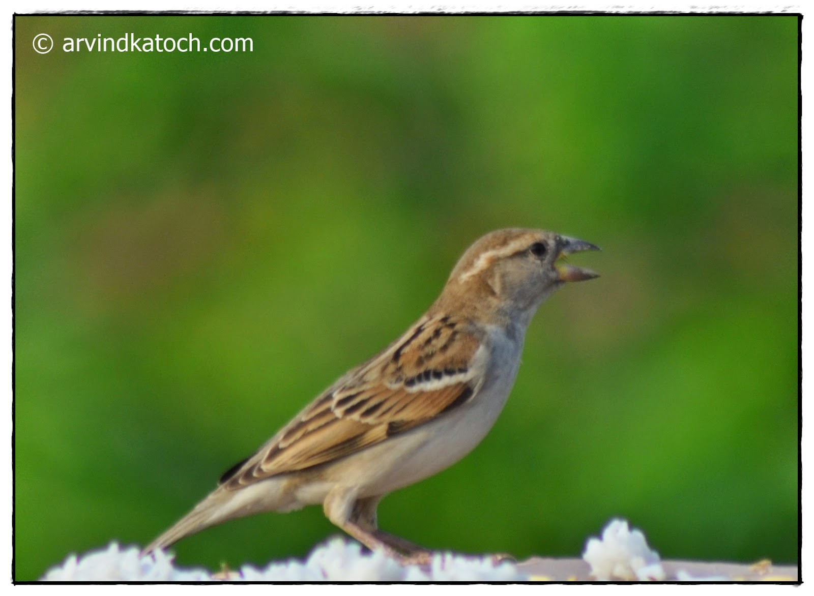 House Sparrow, eating, Cooked Rice