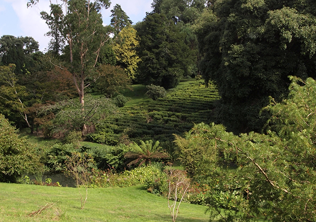 Tregothnan tea plantation
