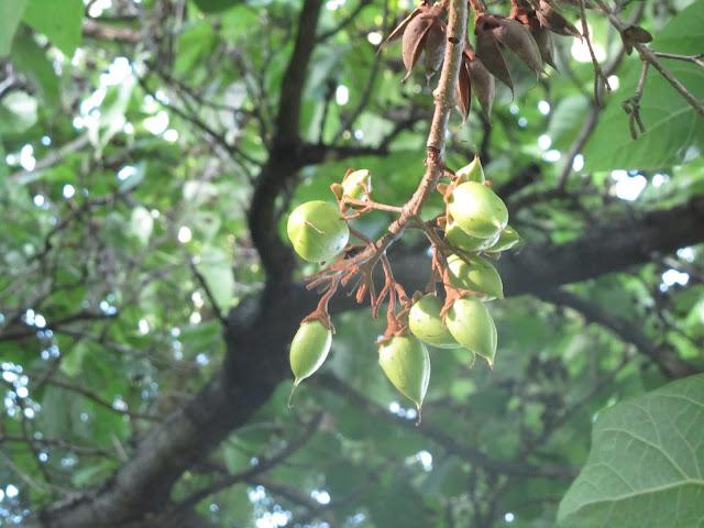 Frutti Immaturi Paulownia tomentosa