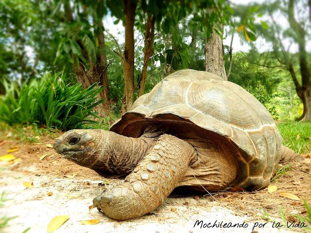 tortuga gigante seychelles