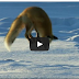 Fox Dives Headfirst Into Snow!