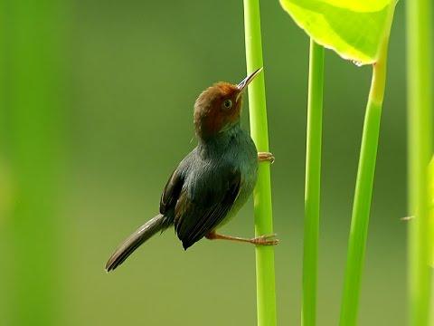 Phân biệt chim sâu đầu đỏ trống mái chuẩn