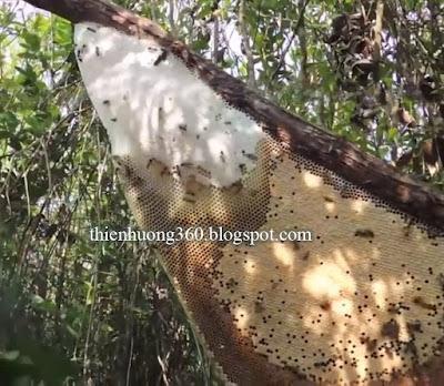 Tổ ong khoái: Ong làm ra mật như thế nào?