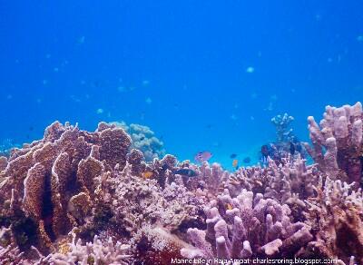 Hard coral at the drop off edge of Warduwer beach of Waigeo island