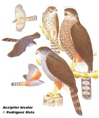 Esparvero común Accipiter bicolor
