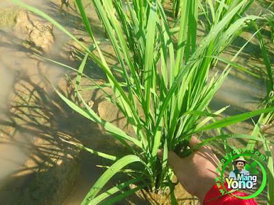 Sumber listrik dari tanaman padi