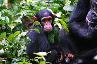 Kibale Forest Chimpanzees