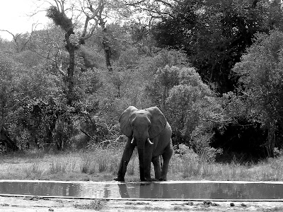 Kruger National Park, South Africa, elephant, black white, safari