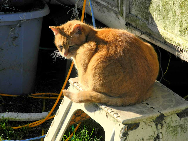 orange feral cat enjoys some sun