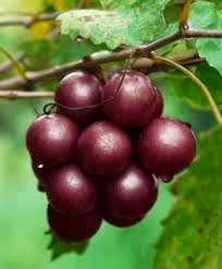 buy muscadine grape seed extract