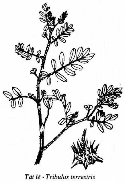Hình vẽ Tật Lê (Bạch Tật Tê) - Tribulus terrestris - Nguyên liệu làm thuốc Chữa bệnh Mắt Tai Răng Họng