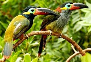 Foto de tucanes de muchos colores en una rama