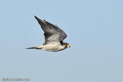 Falcó pelegrí (Falco peregrinus)