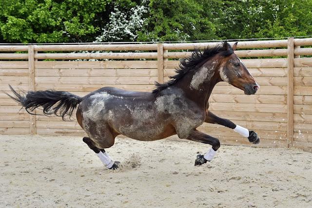 Koń o niekontrolowanym galopie