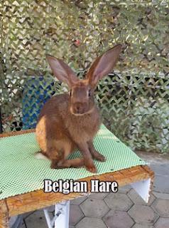 Kelinci jenis Belgian Hare di ARK Corner Malang