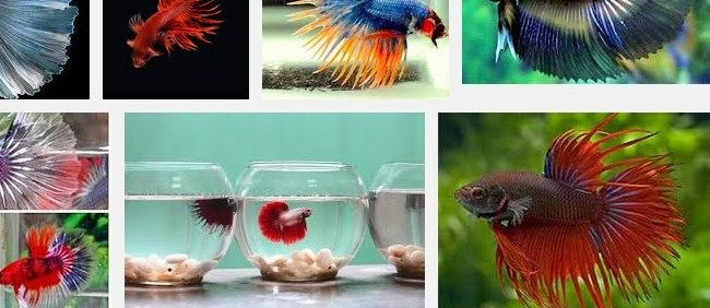 Cara Budidaya Ikan Cupang Terlengkap dengan Perawatannya