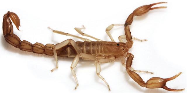El escorpion, un aracnido