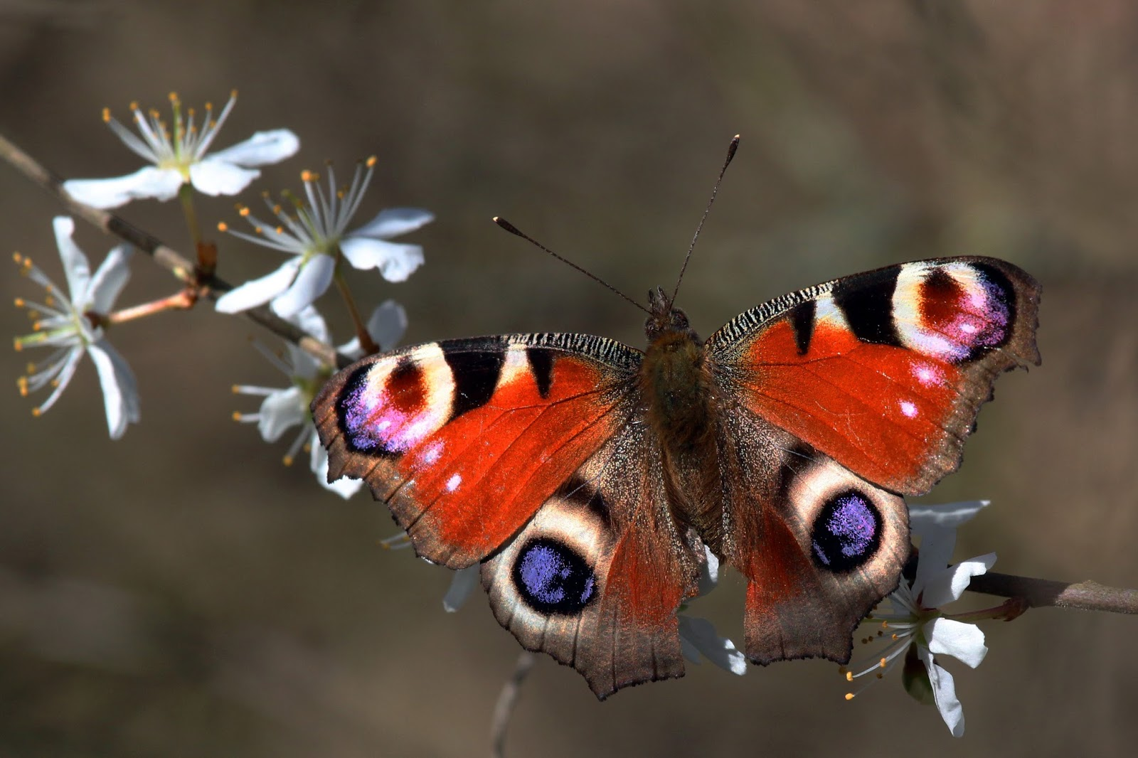 Insects: Peacock butterfly (inachis io) 2