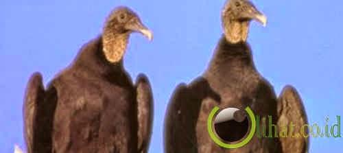 Sepasang Burung Bangkai Hitam
