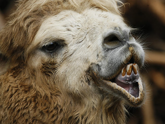 ugly animals funny animal llama llamas ugliest stupid cute goat creatures weird very rm beware inside