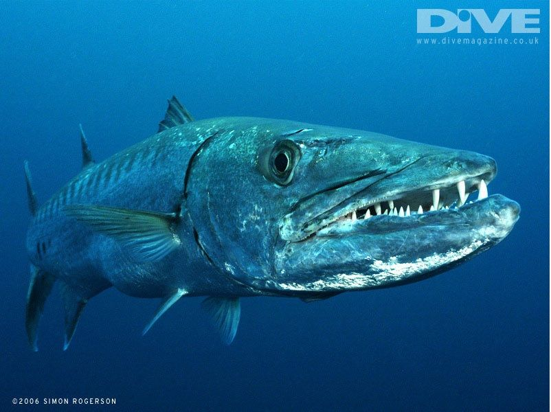 Gambar Ikan Laut Barracuda