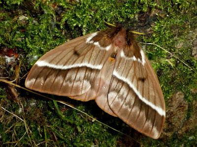 Lemaireodirphia albida female